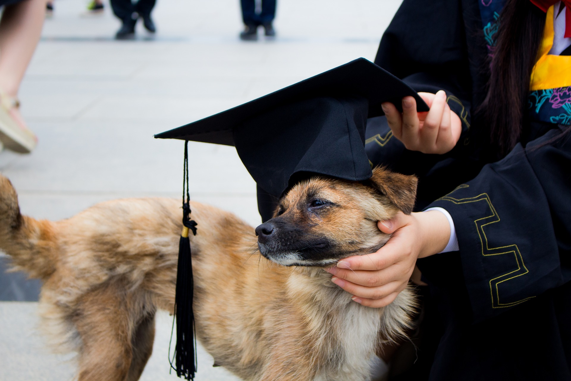 Small mixed breed dog with a graduation cap placed on its head